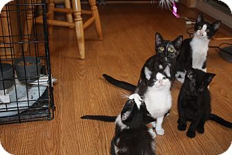 Domestic Shorthair Kitten for adoption in St. Louis, Missouri - Yamaha