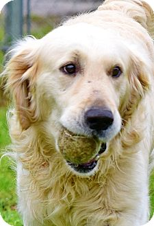 Golden Retriever Dog for adoption in New Canaan, Connecticut - Patrick