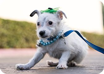 Jack Russell Terrier/Parson Russell Terrier Mix Puppy for adoption in Montclair, California - Mickey