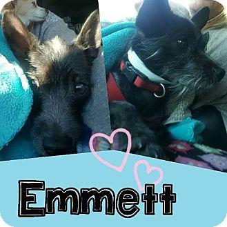 Terrier (Unknown Type, Small) Mix Dog for adoption in Mesa, Arizona - EMMETT