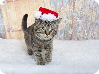 Bengal Kitten for adoption in Nashville, Tennessee - Pillsbury