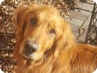 Golden Retriever Dog for adoption in Denver, Colorado - Bowie