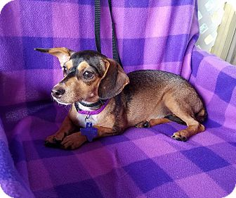Chihuahua/Dachshund Mix Dog for adoption in Allentown, Pennsylvania - Tivoli