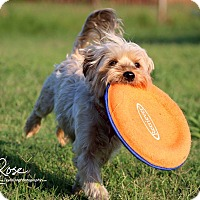 Yorkie, Yorkshire Terrier/Terrier (Unknown Type, Small) Mix Dog for adoption in Dallas, Texas - Norton