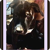 American Pit Bull Terrier/Labrador Retriever Mix Puppy for adoption in West Los Angeles, California - TigerLil
