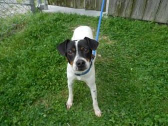 Rat Terrier Mix Dog for adoption in Baton Rouge, Louisiana - Zeke03212014