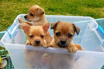 Chihuahua Mix Dog for adoption in New Smyrna beach, Florida - Fiona