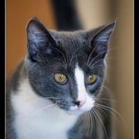 Adopt A Pet :: Greyson - Wickenburg, AZ