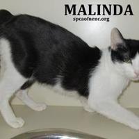 Adopt A Pet :: Malinda - Elizabeth City, NC
