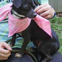 Adopt A Pet :: Carrie - Loxahatchee, FL