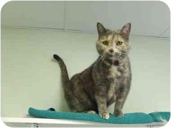 Domestic Shorthair Cat for adoption in Batavia, Ohio - Nadia