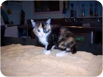 Domestic Shorthair Kitten for adoption in Medina, Ohio - Luna