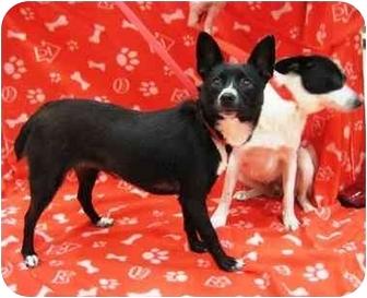 Schipperke Mix Dog for adoption in Sugar Land, Texas - Bonnie