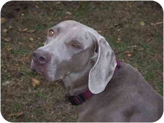 Weimaraner Dog for adoption in Grand Haven, Michigan - Hunter