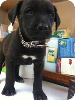 Labrador Retriever/Rhodesian Ridgeback Mix Puppy for adoption in Houston, Texas - Marcia