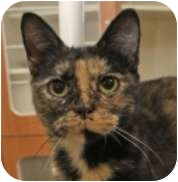 Calico Cat for adoption in Lincolnton, North Carolina - Daphne
