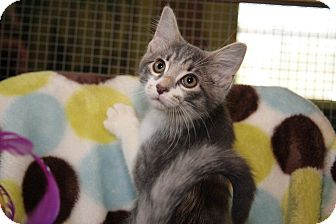 Domestic Shorthair Kitten for adoption in Columbia, Illinois - Basil