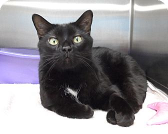 Bombay Cat for adoption in Orland Park, Illinois - Sancho