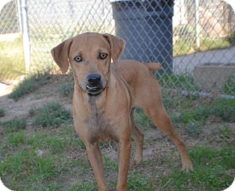 Hound (Unknown Type)/Labrador Retriever Mix Dog for adoption in Watauga, Texas - Lacy