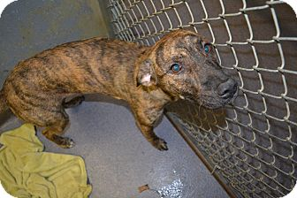 Terrier (Unknown Type, Medium) Mix Dog for adoption in Edwardsville, Illinois - Fancy