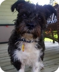 Shih Tzu/Cairn Terrier Mix Dog for adoption in Toronto, Ontario - Addy