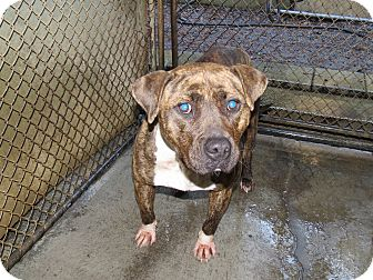 Pit Bull Terrier Mix Dog for adoption in Henderson, North Carolina - Amanda