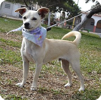 Chihuahua/Basenji Mix Dog for adoption in El Cajon, California - PERRY