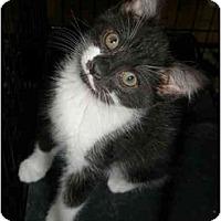 Adopt A Pet :: Ms Hiss (Bootsie) - Richmond, VA