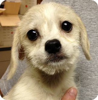 Bichon Frise/Poodle (Miniature) Mix Puppy for adoption in Fairview Heights, Illinois - Lilly