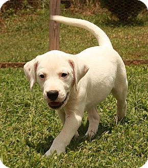 American Bulldog/Pointer Mix Puppy for adoption in Windham, New Hampshire - Snowy