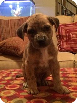 Golden Retriever/Catahoula Leopard Dog Mix Puppy for adoption in Memphis, Tennessee - CHIP