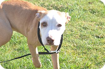 Pit Bull Terrier Mix Puppy for adoption in Tumwater, Washington - Daisey