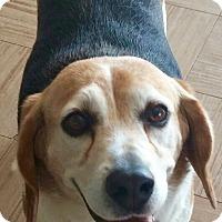 Adopt A Pet :: BIGGLES - Valley Village, CA