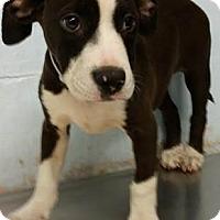 Adopt A Pet :: Daisy - Pembroke pInes, FL