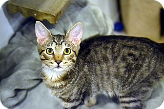 Domestic Shorthair Kitten for adoption in Broadway, New Jersey - Catillac