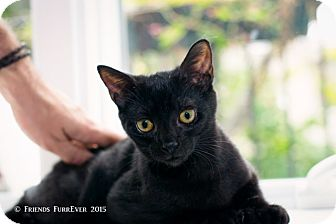 Hemingway/Polydactyl Kitten for adoption in Brooklyn, New York - Boo