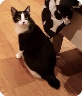 Domestic Shorthair Kitten for adoption in Colmar, Pennsylvania - Everest-Adoption Pending!