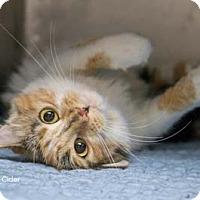 Adopt A Pet :: Cider - Merrifield, VA