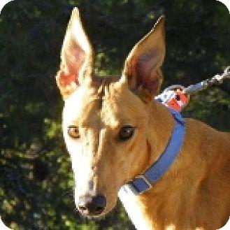 Greyhound Dog for adoption in El Cajon, California - Boom