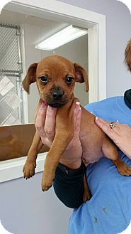Terrier (Unknown Type, Small) Mix Puppy for adoption in Hawk Point, Missouri - Peter