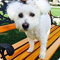 Adopt A Pet :: Samson - Beavercreek, OH