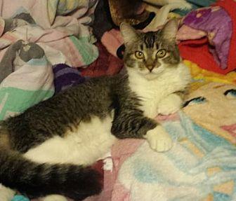 Domestic Shorthair Cat for adoption in Glendale, Arizona - Belle
