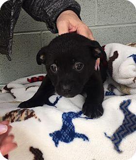 Labrador Retriever/Terrier (Unknown Type, Medium) Mix Puppy for adoption in Hagerstown, Maryland - Daiquiri