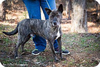 American Pit Bull Terrier Dog for adoption in Clarkesville, Georgia - Covi