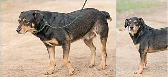 Rottweiler/Labrador Retriever Mix Dog for adoption in Pipe Creek, Texas - Butch