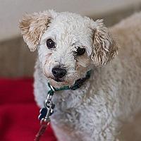 Poodle (Miniature) Dog for adoption in Kanab, Utah - Arthur