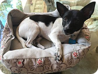 Rat Terrier Mix Dog for adoption in Stamford, Connecticut - A - OLAF
