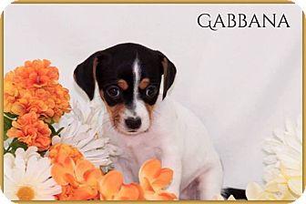 Dachshund Mix Puppy for adoption in DeForest, Wisconsin - Gabbana