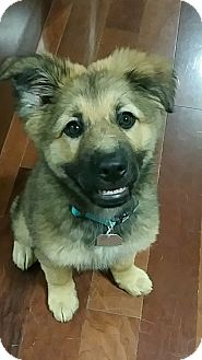 German Shepherd Dog Mix Puppy for adoption in Yukon, Oklahoma - Charlie