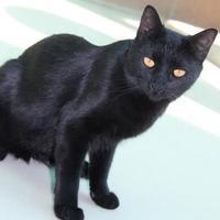 Domestic Shorthair/Domestic Shorthair Mix Cat for adoption in Glendale, Arizona - Cairo